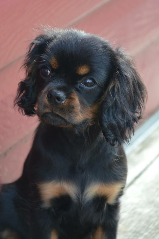 Black And Tan Cavaliers Georgia